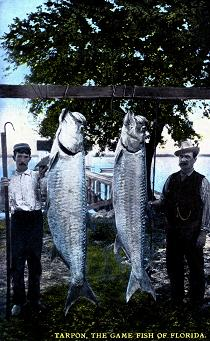 Tampa tarpon fishing- FWC Historic tarpon photo gallery